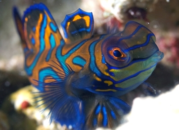 A shy but most colorful Mandarin fish