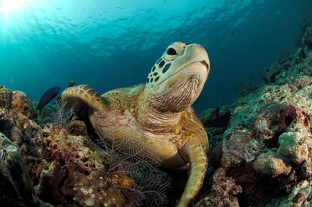 Dive with Turtles in Sipadan
